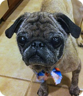 Pug Dog for adoption in Austin, Texas - Angel