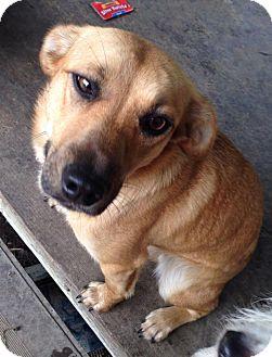 Shepherd (Unknown Type)/Labrador Retriever Mix Puppy for adoption in Youngstown, Ohio - Luna ~ Adoption Pending