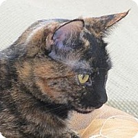 British Shorthair Cat for adoption in Los Angeles, California - Lorna