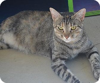Domestic Shorthair Cat for adoption in New Iberia, Louisiana - Jenny