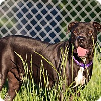American Pit Bull Terrier/Great Dane Mix Dog for adoption in chouteau, Oklahoma - Angus