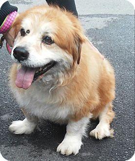 Corgi Mix Dog for adoption in Winchester, Virginia - Fatone