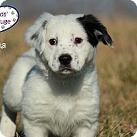 Adopt A Pet :: Olena - Lee's Summit, MO