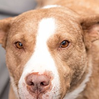 Pit Bull Terrier Mix Dog for adoption in Daleville, Alabama - Chance