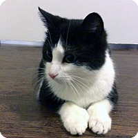 Domestic Shorthair Cat for adoption in Mississauga, Ontario, Ontario - Heidi