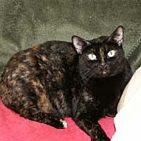 Domestic Shorthair Cat for adoption in Bonita Springs, Florida - Mitsy