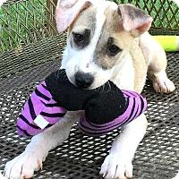 Adopt A Pet :: Miranda - Boulder, CO