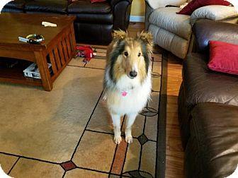 Collie Dog for adoption in Chesapeake, Virginia - Mollie