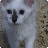Adopt A Pet :: Mikey (pure-bred Ragamuffin) - Witter, AR