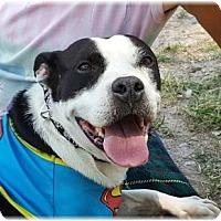Adopt A Pet :: Starla - Welland, ON