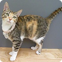 Domestic Shorthair Cat for adoption in League City, Texas - Numbers