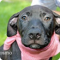 Labrador Retriever/Boxer Mix Puppy for adoption in Marietta, Georgia - Cosmo