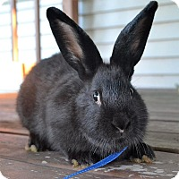 Flemish Giant Mix for adoption in Bruce Township, Michigan - Waffles