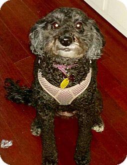 Poodle (Miniature)/Standard Schnauzer Mix Dog for adoption in BROOKSVILLE, Florida - ZOEY