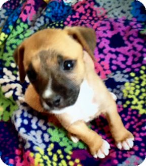 Labrador Retriever Mix Puppy for adoption in Portsmouth, New Hampshire - Cassy-ADOPTION PENDING