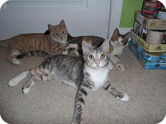 Domestic Shorthair Kitten for adoption in Fairfax, Virginia - Tucker Girl Kittens
