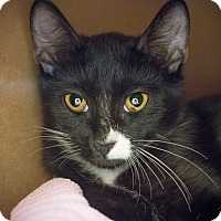 Domestic Shorthair Kitten for adoption in Los Angeles, California - Ephesus