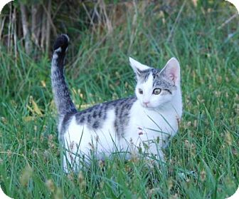 Domestic Shorthair Cat for adoption in Columbus, Indiana - Boomer