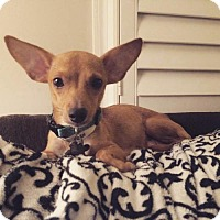 Chihuahua Mix Dog for adoption in Alpharetta, Georgia - PrincessCruise