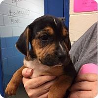 Adopt A Pet :: Cindy - Barnegat, NJ