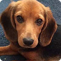 Adopt A Pet :: Annalee - Plainfield, IL