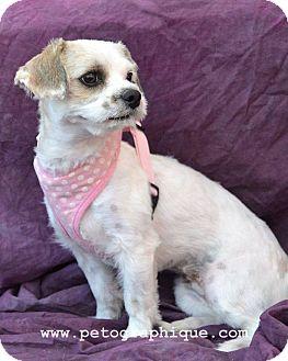 Maltese/Shih Tzu Mix Dog for adoption in Las Vegas, Nevada - Kathy