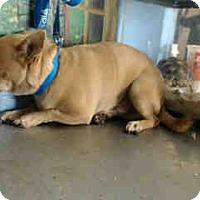 Chihuahua Mix Dog for adoption in San Bernardino, California - URGENT NOW!  San Bernardino