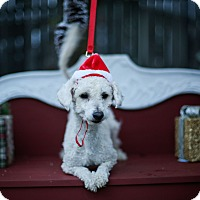 Maltese/Poodle (Miniature) Mix Dog for adoption in Auburn, California - Peter cotton tail