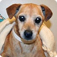 Chihuahua Mix Dog for adoption in Wildomar, California - Butterscotch
