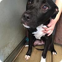 Adopt A Pet :: Liberty - Westminster, CA