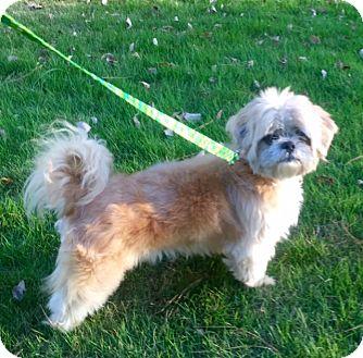Shih Tzu Dog for adoption in Birmingham, Alabama - Lionel