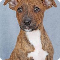Adopt A Pet :: Niko - Encinitas, CA