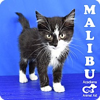 Adopt A Pet :: Malibu - Carencro, LA