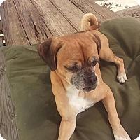 Adopt A Pet :: Gus - Bertram, TX
