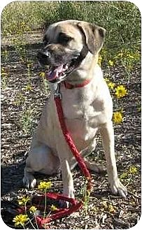 Anatolian Shepherd/Labrador Retriever Mix Dog for adoption in Golden Valley, Arizona - Daisy May