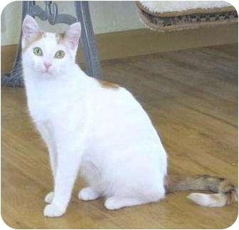 Turkish Van Cat for adoption in Prescott, Arizona - Iris