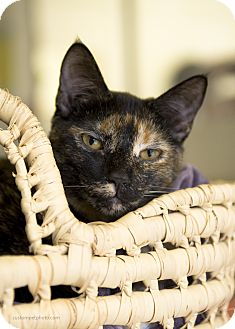 Domestic Shorthair Cat for adoption in El Cajon, California - Beth