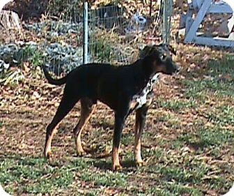 Doberman Pinscher Mix Dog for adoption in New Richmond, Ohio - Beau - Pending