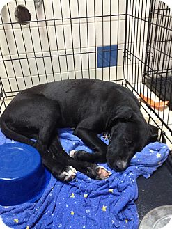 Labrador Retriever/Terrier (Unknown Type, Medium) Mix Dog for adoption in Miami, Florida - Dido