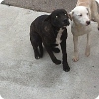 Adopt A Pet :: Clara - Seattle, WA