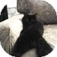 Adopt A Pet :: Black Betty - Vancouver, BC