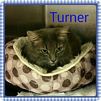 Domestic Longhair Cat for adoption in Newnan, Georgia - Turner