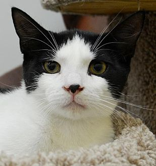 Domestic Shorthair Cat for adoption in Horn Lake, Mississippi - Woody