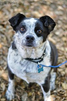 Australian Cattle Dog/Border Collie Mix Dog for adoption in Milpitas, California - Achilles