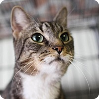 Domestic Shorthair Cat for adoption in Winston-Salem, North Carolina - Marilyn