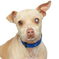 Adopt A Pet :: Chief -