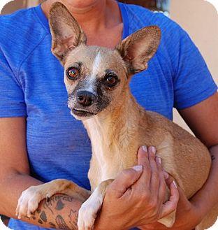 Italian Greyhound/Chihuahua Mix Dog for adoption in Las Vegas, Nevada - Paloma
