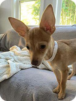 Chihuahua Mix Puppy for adoption in Alpharetta, Georgia - Nikolo