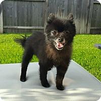 Adopt A Pet :: Jaden - conroe, TX