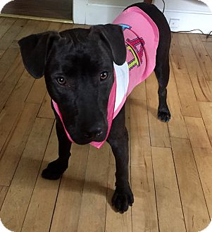 American Bulldog/Labrador Retriever Mix Dog for adoption in Glastonbury, Connecticut - Kippy Girl~ meet me!